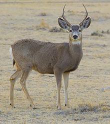 220px-2012-mule-deer-male